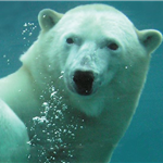 Polar Bear swimming head shot